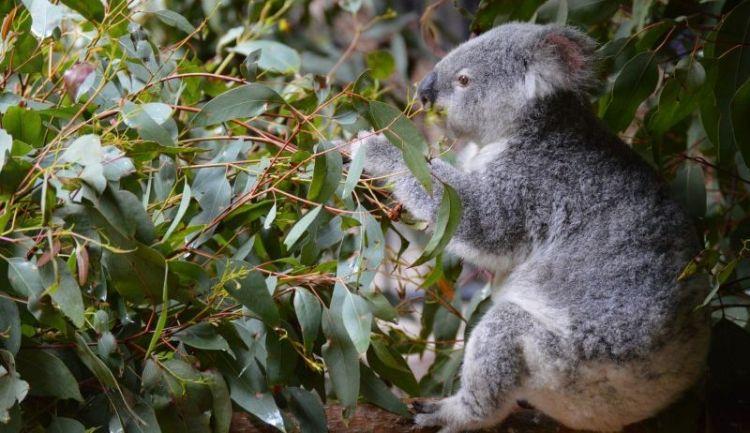 alimentación de los koalas