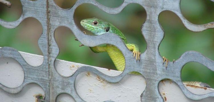 de qué se alimentan las lagartijas