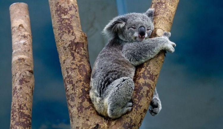 de que se alimentan los koalas