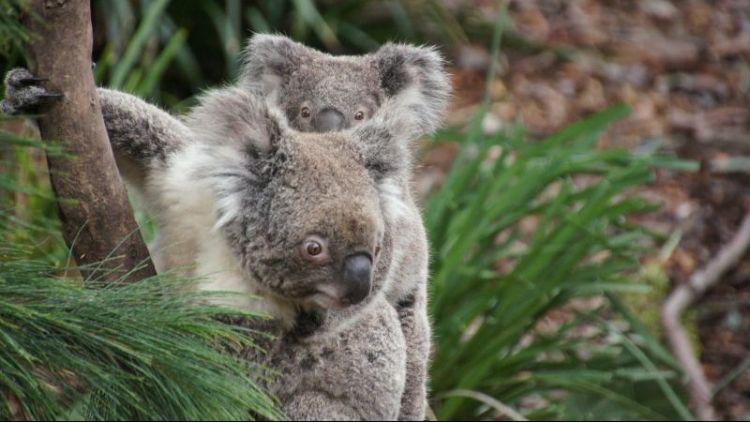 qué comen los koalas