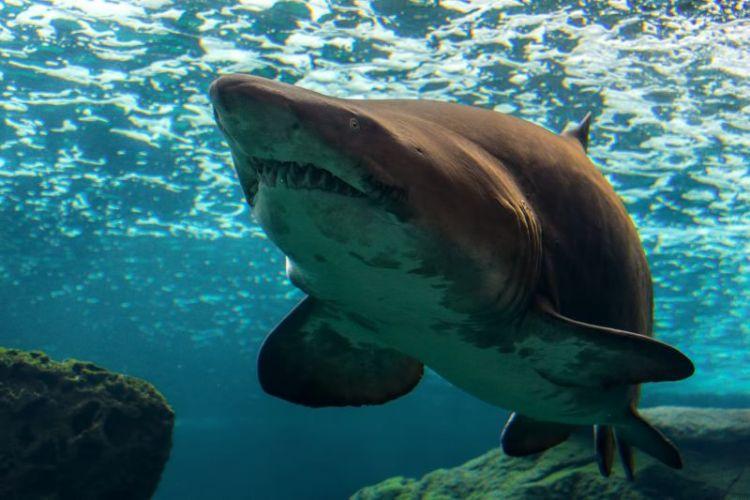 tiburón blanco características