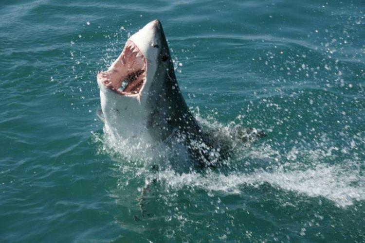 tiburon blanco qué come, alimentación