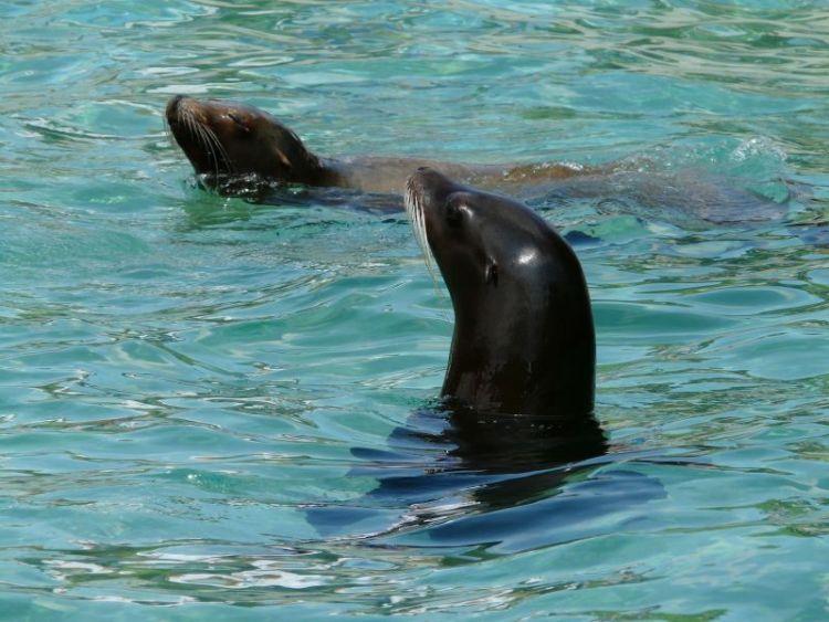 caracteristicas y habitat del lobo marino