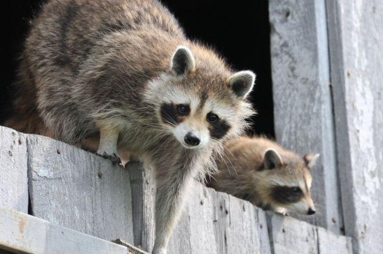 el mapache, características y alimentación