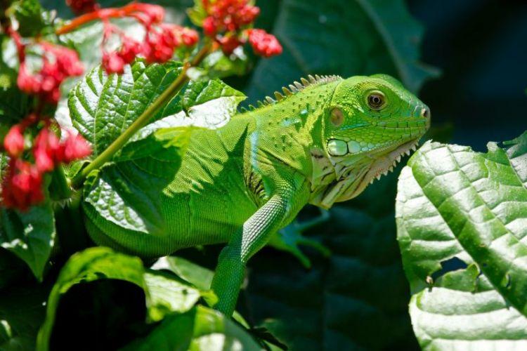 iguana, caracteristicas