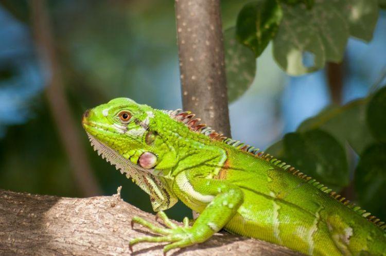 iguana, habitat