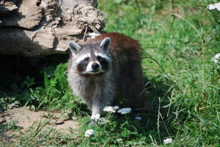 mapache, hábitat