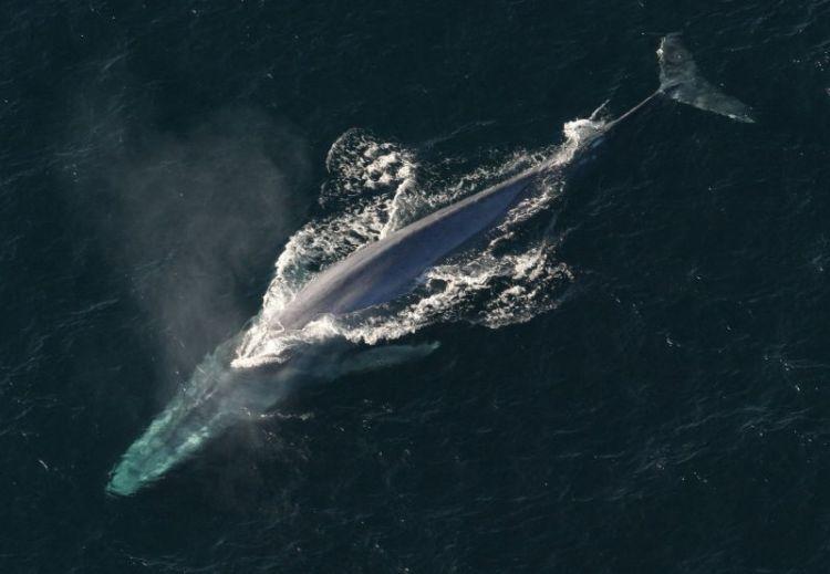 La ballena azul  Características, hábitat, qué come, peligro