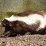 La mofeta Características, reproducción, especies