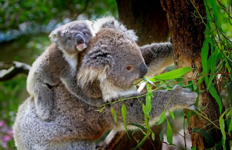 características del koala