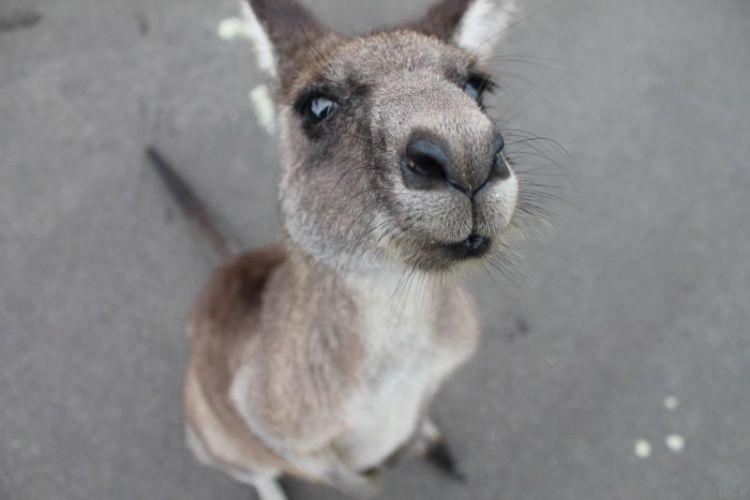 características del canguro