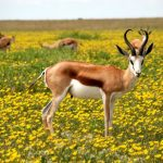 características, hábitat y alimentación del antilope