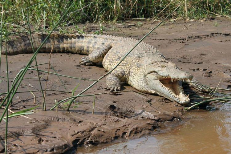 características, reproducción y alimentción del cocodrilo