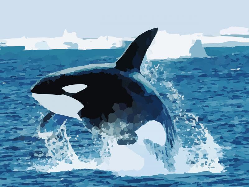 la orca, qué come