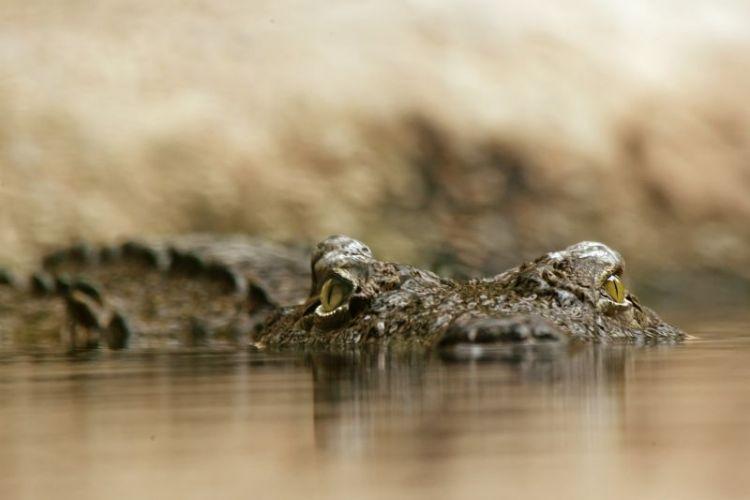 los cocodrilos del Nilo