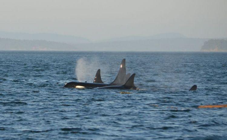 orca caracteristicas