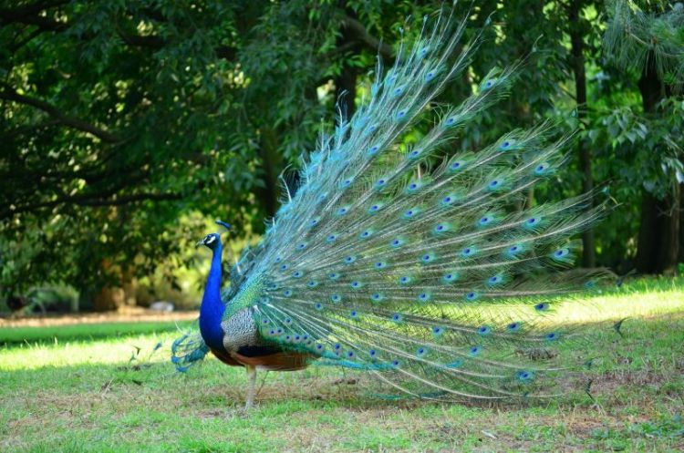 Pavo real caracter sticas h bitat qu come macho - Fotos de un pavo real ...