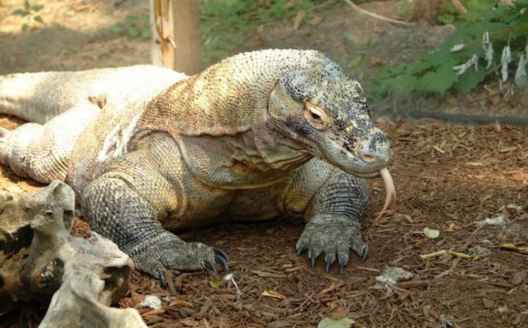 Dragón de Komodo, características, reproducción y hábitat