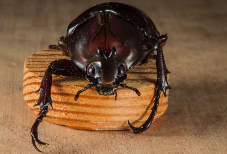 el escarabajo, caracteríscas y reproducción