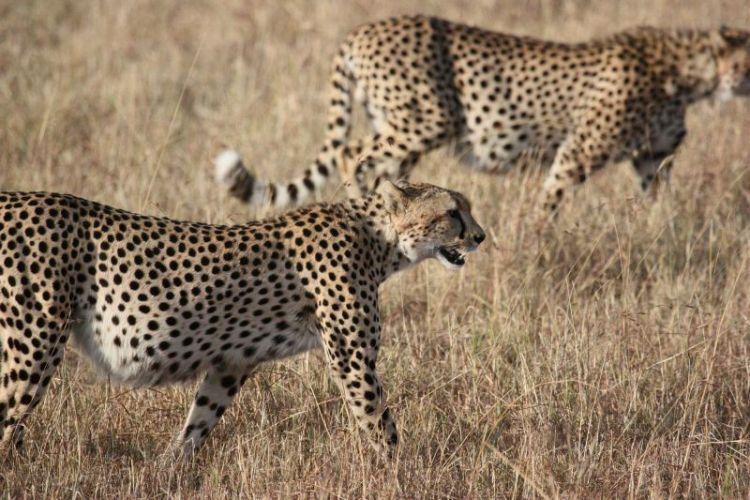 guepardo, características, hábitat, información