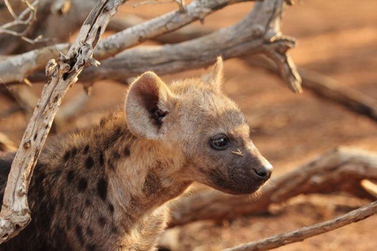 hiena, características, reproducción y alimentación