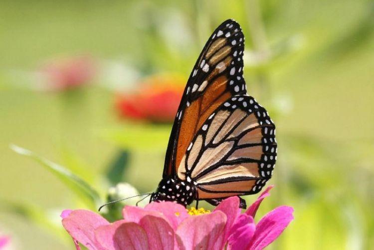la mariposa monarca, características