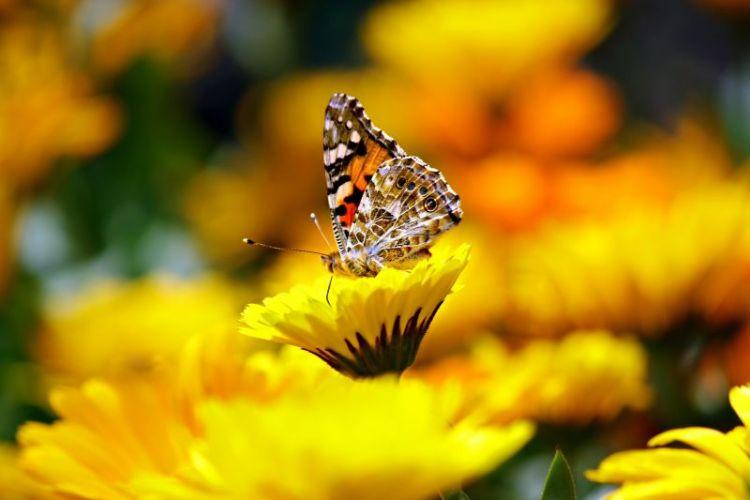 mariposa monarca, migración y ciclo de vida
