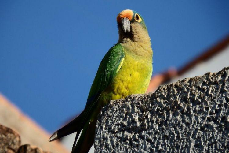 El papagayo, características, reproducción, mascota, guacamayo