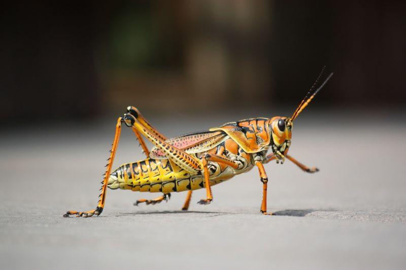 Saltamontes | Características, hábitat, qué come, reproducción