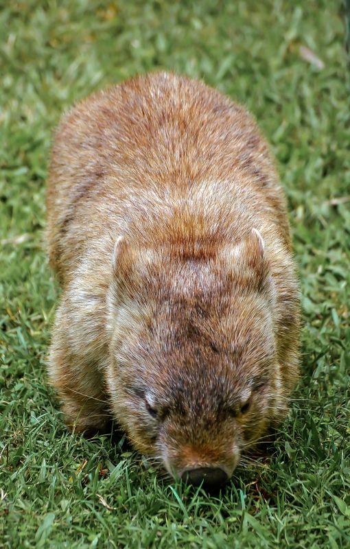 El wombat, características, hábitat, alimentación