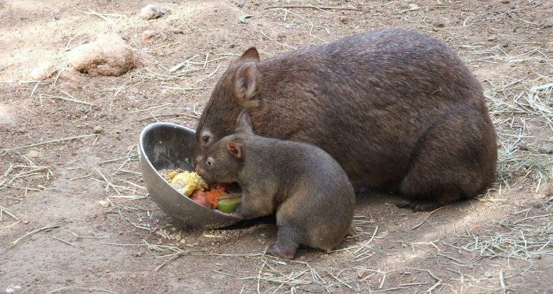 El wombat