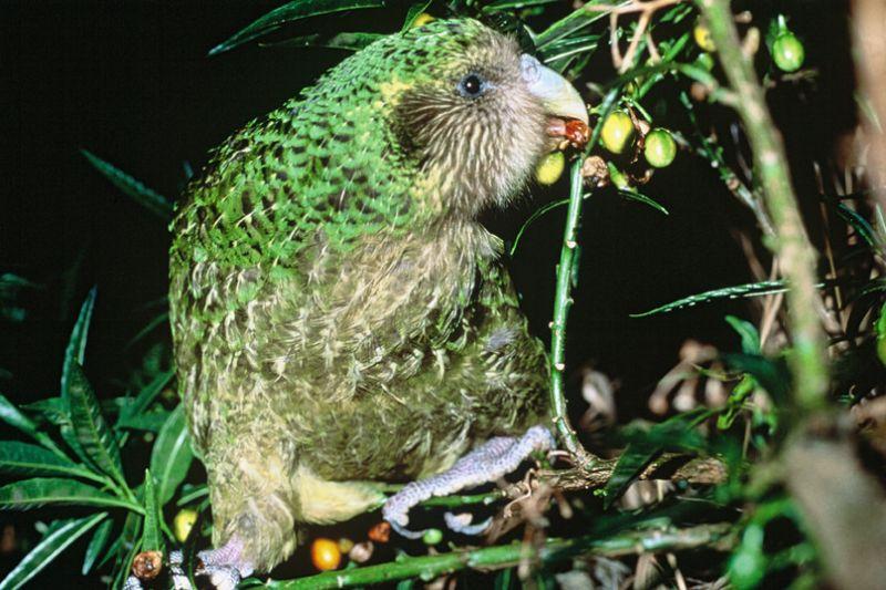 Kakapo, características, hábitat, alimentación, reproducción