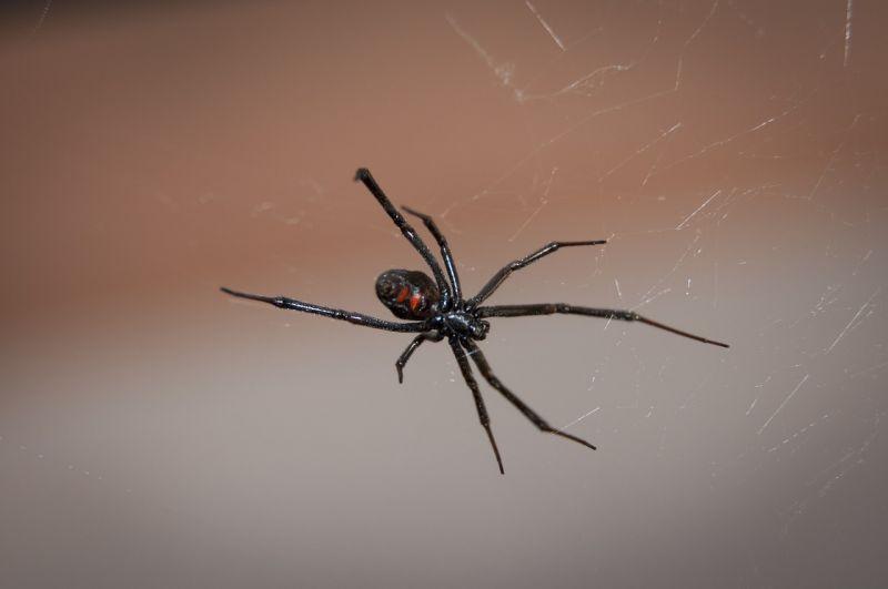La araña viuda negra, características, hábitat, picadura