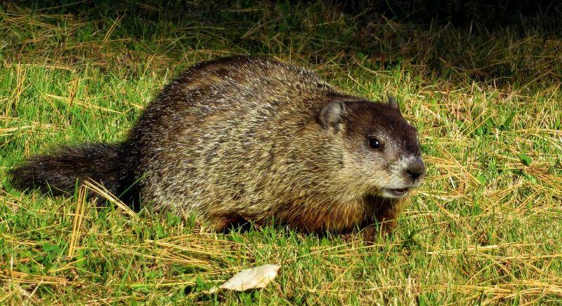 La marmota, características, alimentación, reproducción