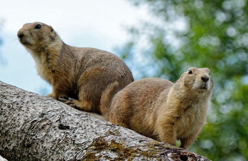 La marmota