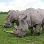 Rinoceronte blanco, características, hábitat, alimentación