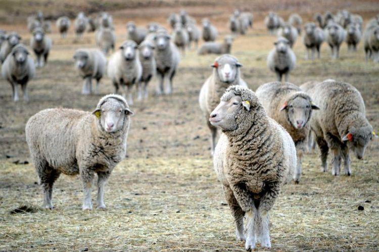 oveja, características, reproducción, alimentación