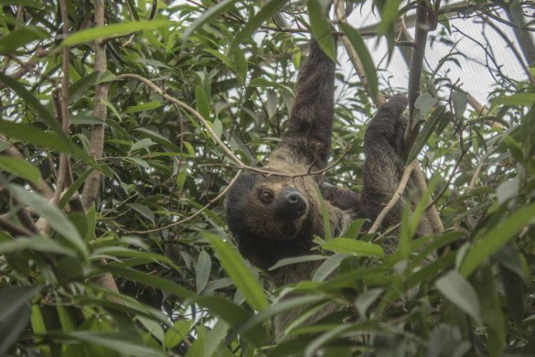El perezoso | Características, comportamiento, reproducción