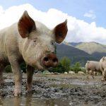 Cerdo, características, comportamiento, reproducción, información