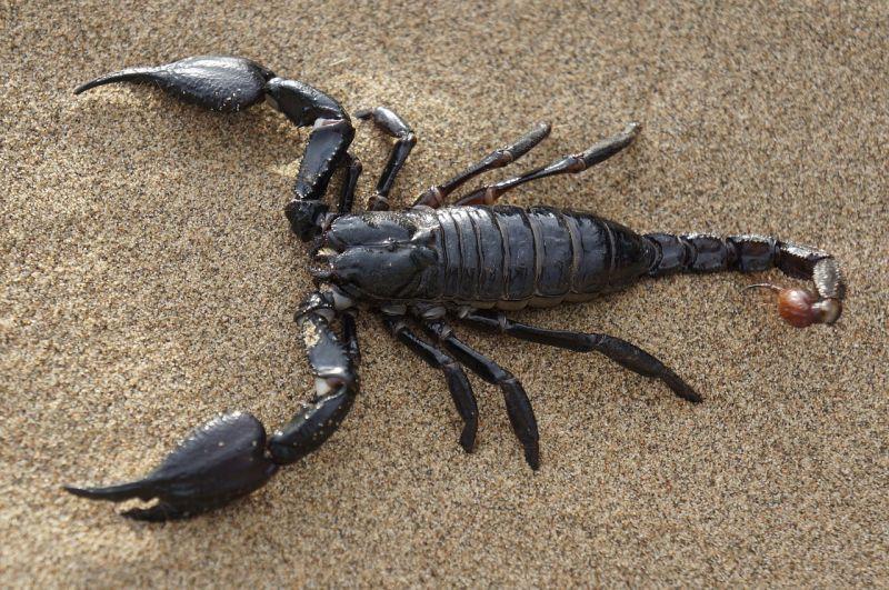 Resultado de imagen de escorpión
