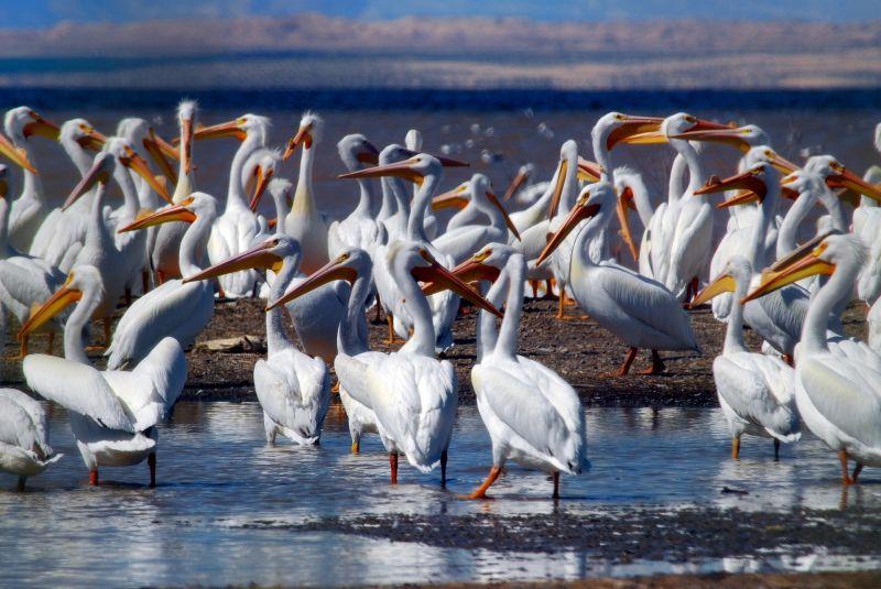El pel cano caracter sticas reproducci n alimentaci n - Fotos de pelicanos ...