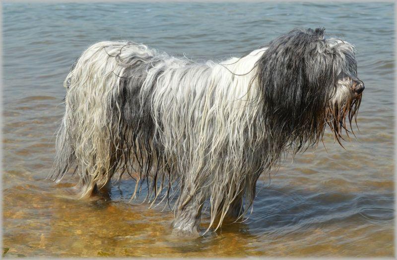 El perro de agua español