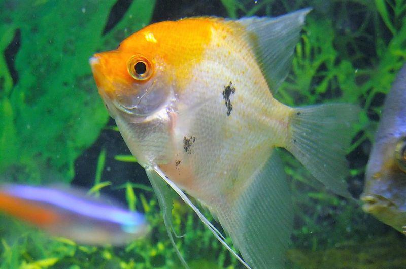 El pez ángel