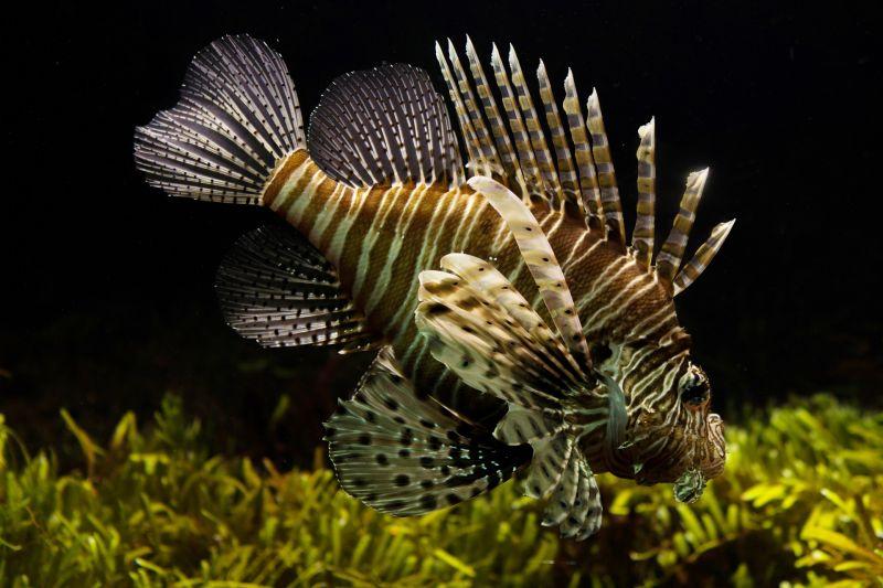 El pez león, características, alimentación, hábitat, reproducción