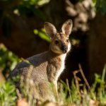 El wallaby