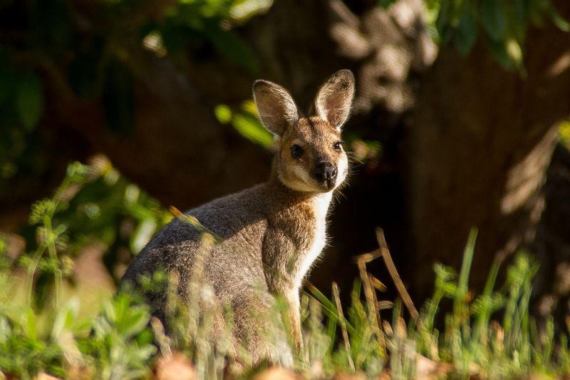 El wallaby