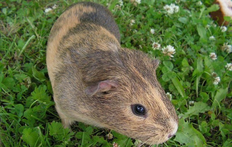 La cobaya, características, reproducción, alimentación Mascota