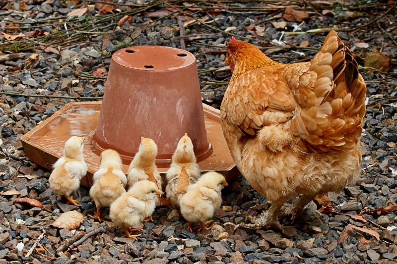 La gallina, características, reproducción, comportamiento, crianza