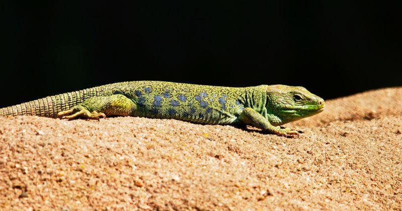 La lagartija, características, alimentación, comportamiento, reproducción