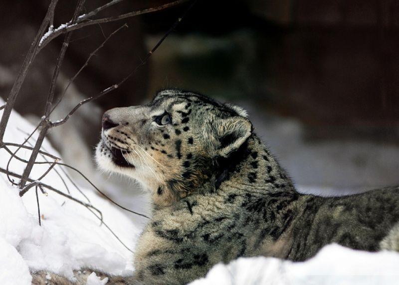 Leopardo de las nieves, características, alimentación, reproducción